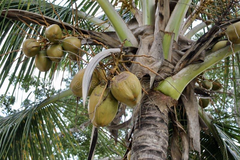 Palma de coco em Nassau fotografia de stock