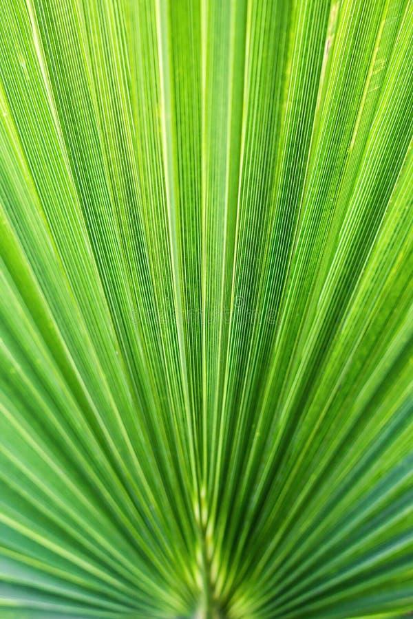 A palma de fã americana do Arizona da palma do algodão da palma de fã do deserto do filifera de Washingtonia descascou as folhas  fotografia de stock royalty free
