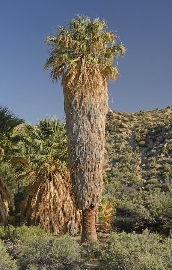 Palma de fã de Califórnia em uns oásis do deserto fotografia de stock