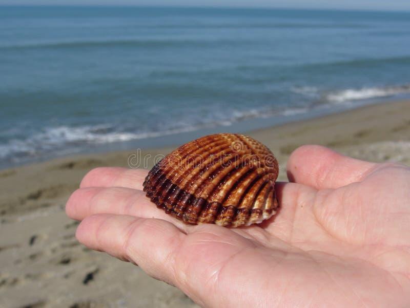 Palma de la mano de la mujer con la cáscara marrón del mar en fondo de la playa del verano foto de archivo