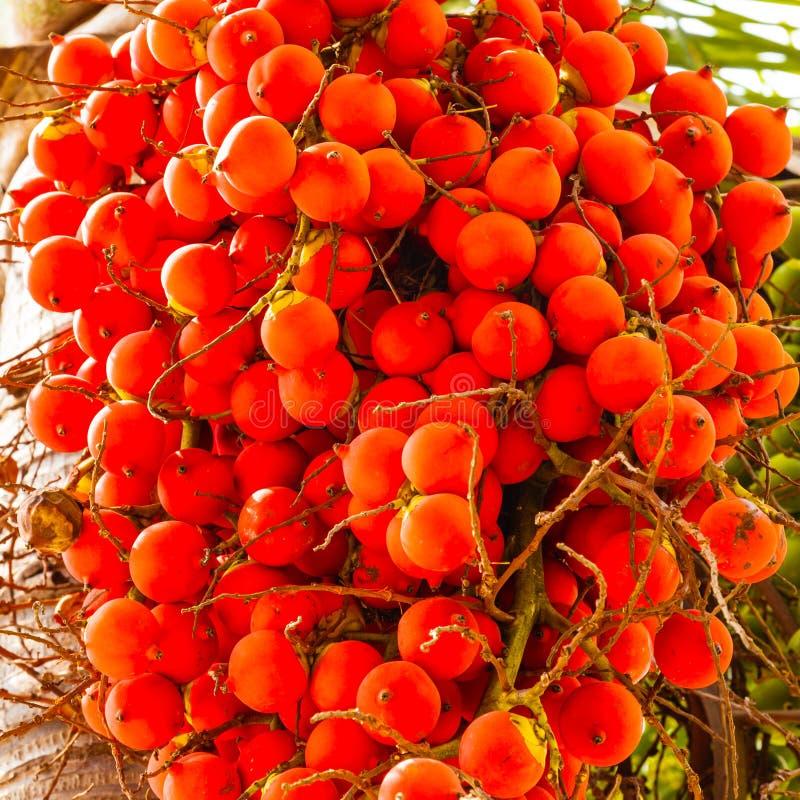 Palma de Manila, merryllii de Veitchia fotografia de stock