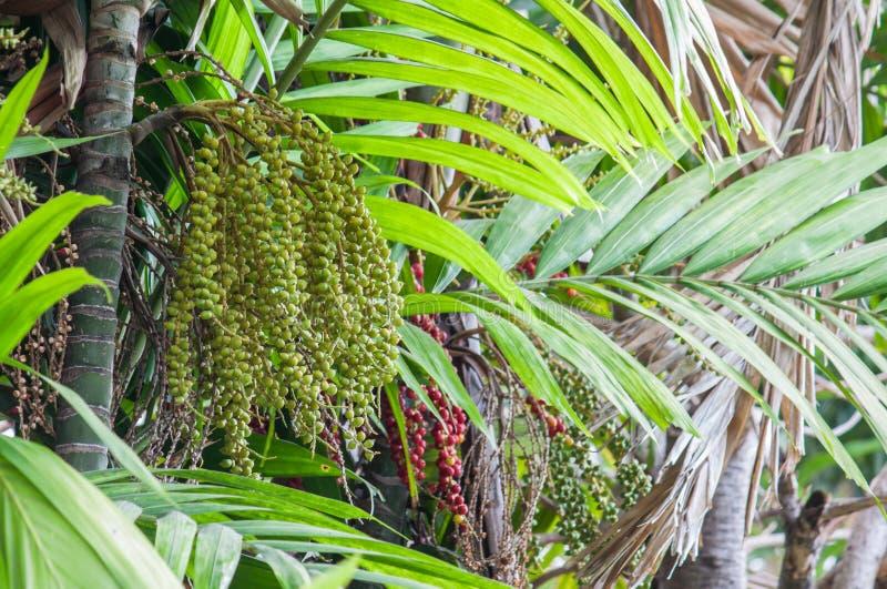 Palma de Manila ou palmeira do Natal imagens de stock