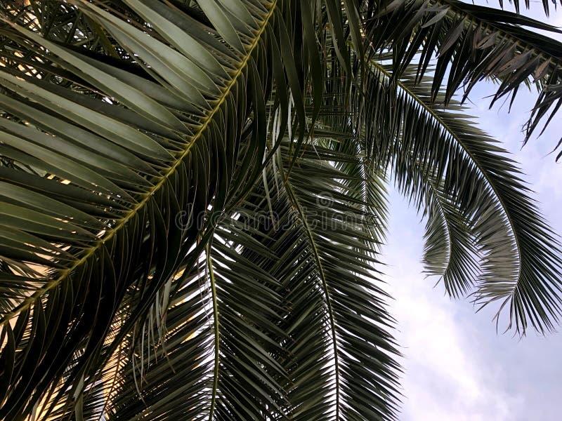 Palma de tâmara Folhas Foto original Do de perto imagens de stock