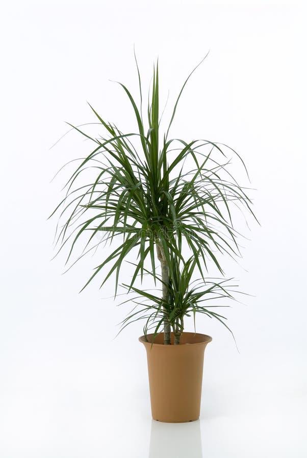 Palma del dracaena del Houseplant immagine stock