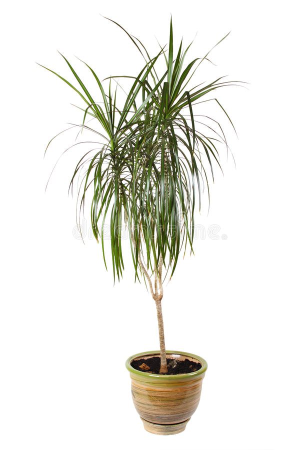 Palma del dracaena del Houseplant in flowerpot fotografia stock