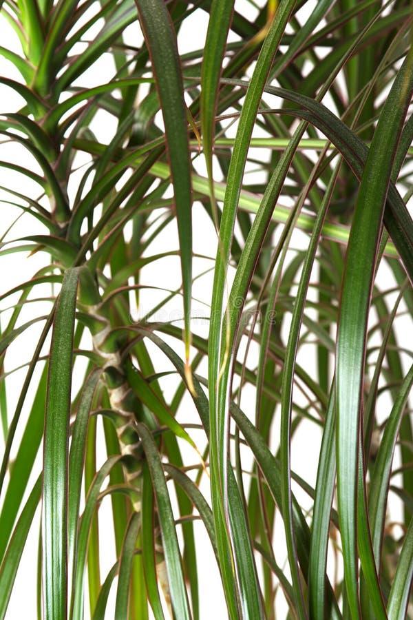 Palma del dracaena del Houseplant, primo piano immagine stock libera da diritti
