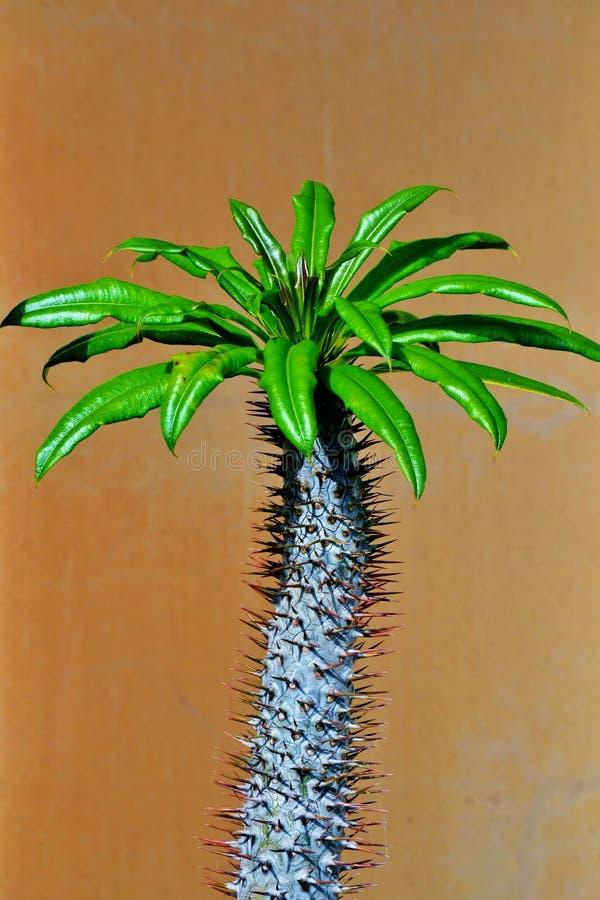 Palma del Madagascar fotografia stock