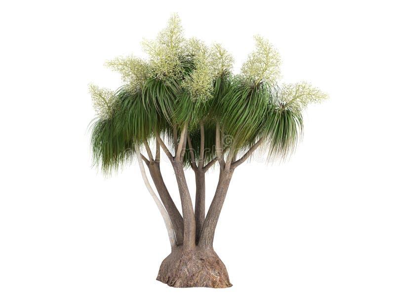 Palma del Ponytail (recurvata di Beauca o del Nolina) illustrazione vettoriale