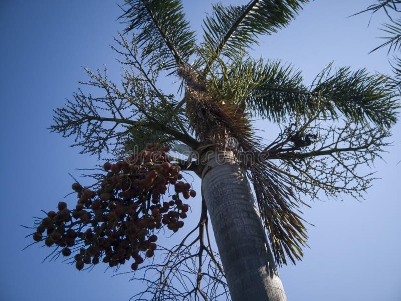 Palma della coda di volpe con frutta sul fondo del cielo blu fotografie stock