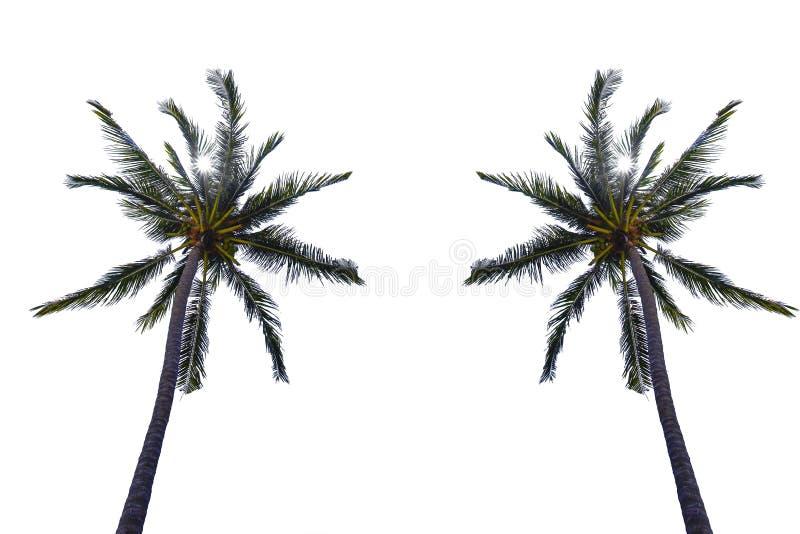 Palma/della noce di cocco isolata su fondo bianco fotografia stock