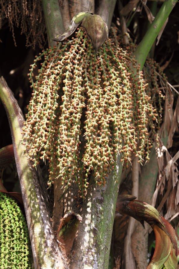 Palma di caryota urens fotografia stock
