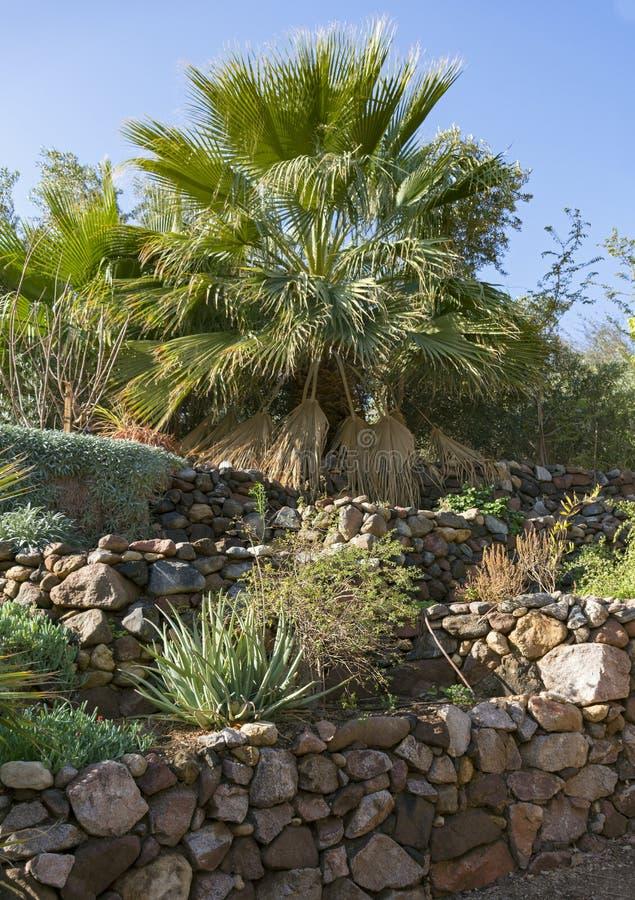Palma di fan in un giardino di rocce fotografia stock