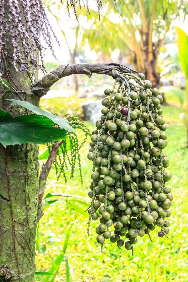 Palma di Fishtail birmana fotografie stock