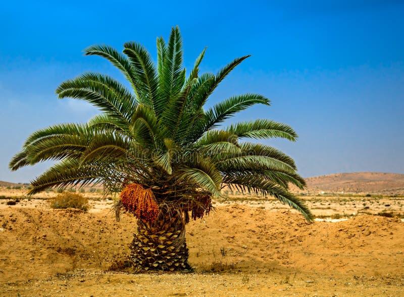 Palma di Lonelyl con le date in Negev immagini stock libere da diritti