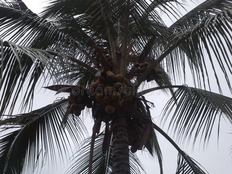 Palma di noce di cocco fotografia stock