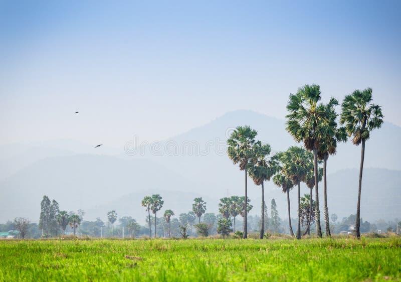 Palma di Palmira dell'asiatico, albero della palma da zucchero circondato con il giacimento del riso immagini stock libere da diritti