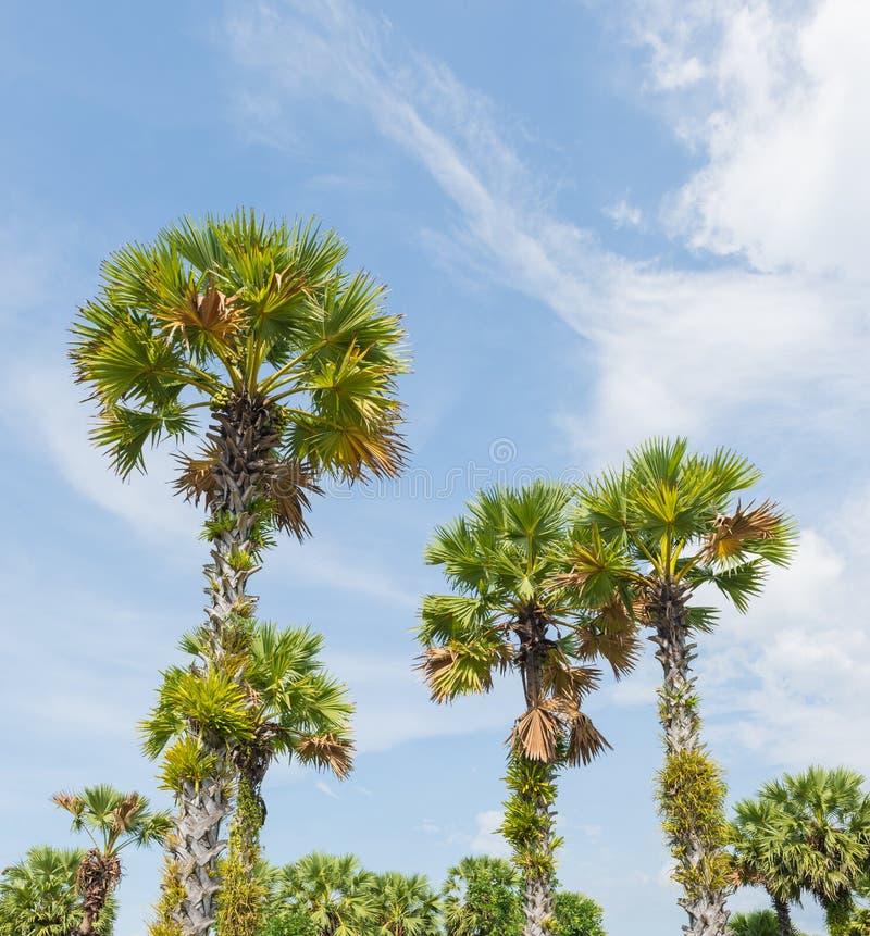 Palma di Palmira dell'asiatico o di Sugar Palm Tree o palma di Toddy o cambogiano fotografia stock libera da diritti