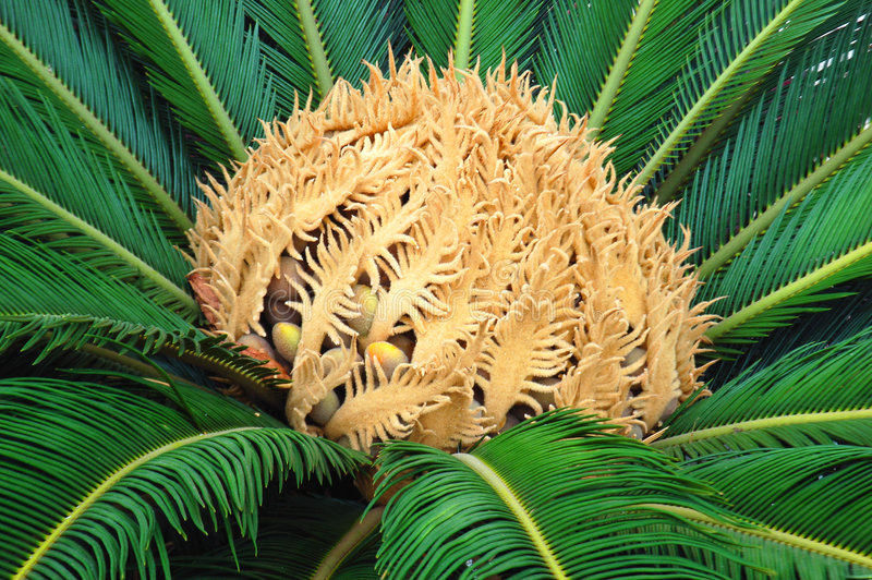 Palma do Cycas foto de stock