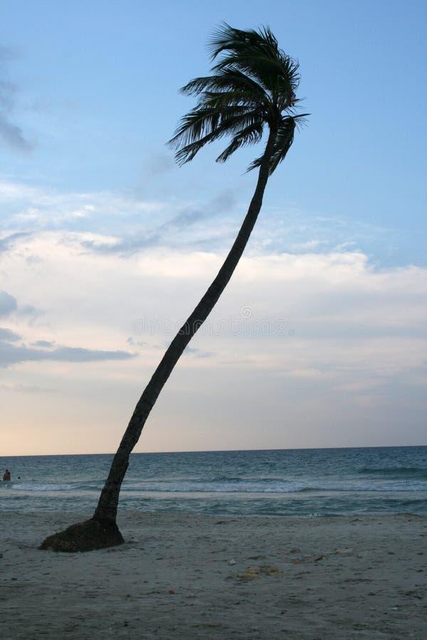 Palma Guanabo fotos de stock