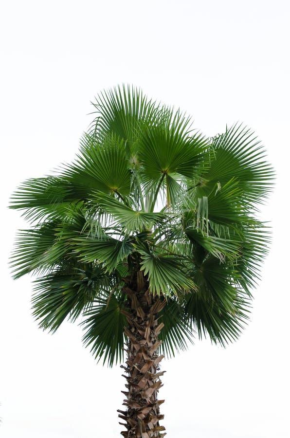 Palma isolada no fundo branco imagem de stock royalty free