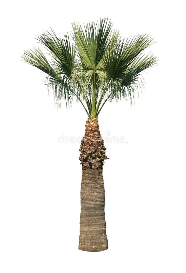 Palma isolata fotografie stock