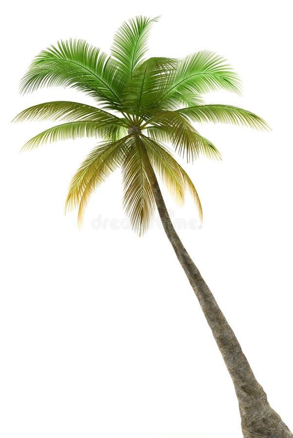 Palma isolata su priorità bassa bianca fotografie stock libere da diritti