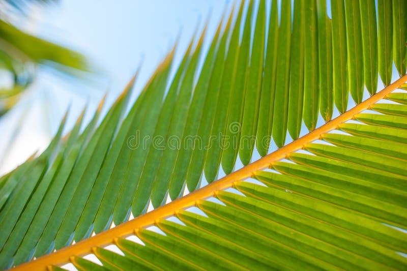 Palma liście, roślina nad natury tłem, piękny drzewo zdjęcia stock