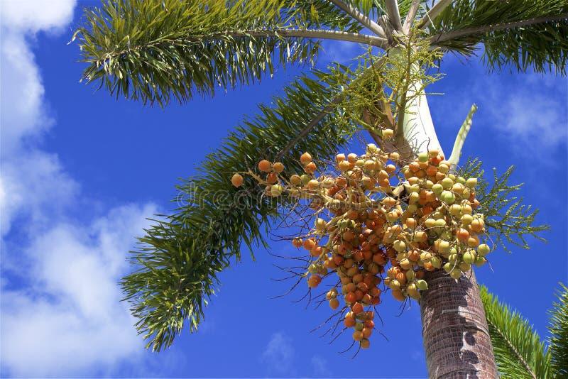 palma sia drzewa zdjęcia stock
