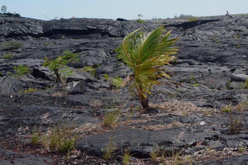 Palma solitária na lava imagens de stock royalty free