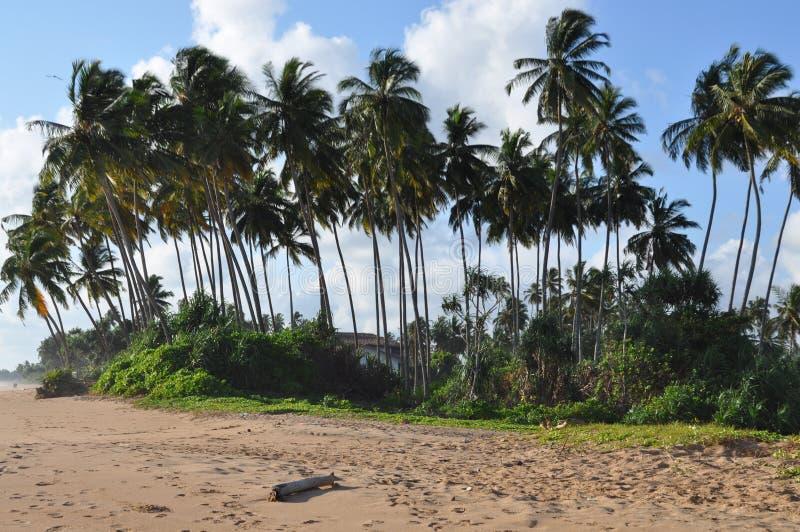 Palma Sri Lanka images libres de droits