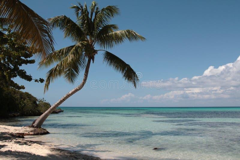 Palma Sulla Spiaggia Caraibica Immagini Stock
