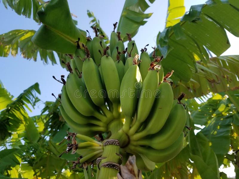Palma verde della banana fotografie stock libere da diritti