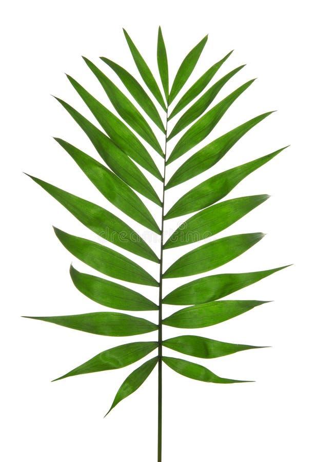 Palma verde della foglia (Howea) immagini stock