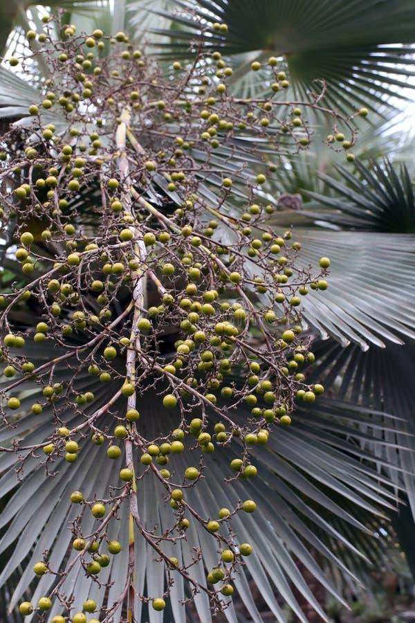 Palma verde do fruto fotos de stock royalty free