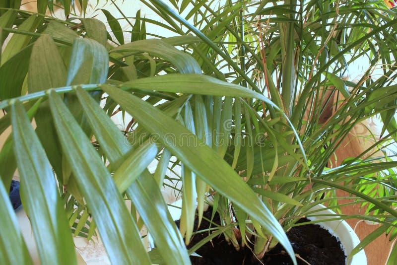 Palma verde em casa no potenciômetro imagens de stock royalty free