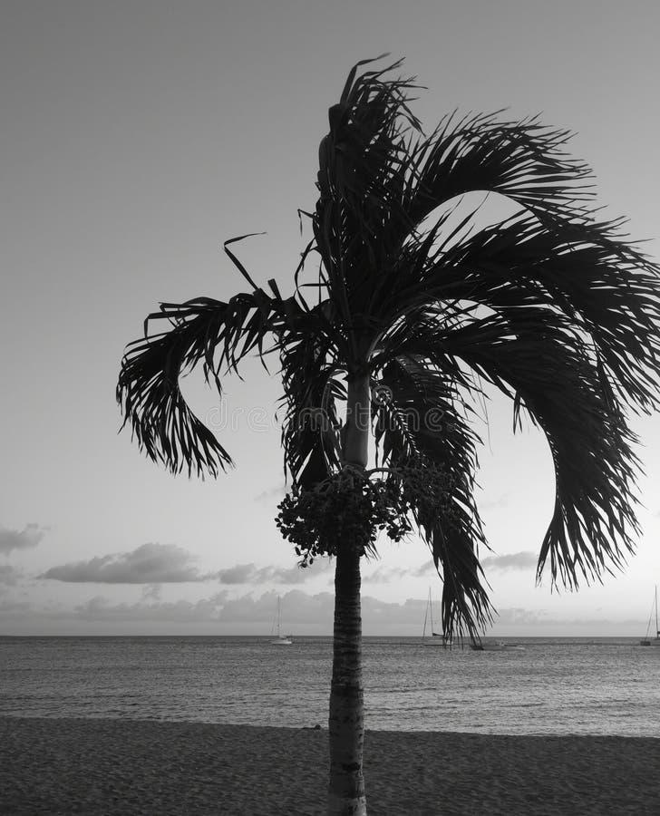 Palma w czarny i biały zdjęcie royalty free