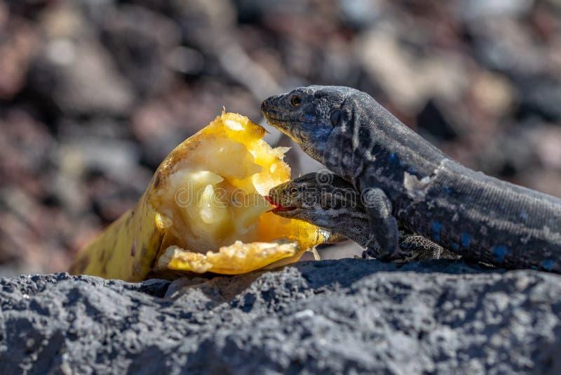 Palmae do galloti de Gallotia do lagarto da parede de Palma do La que descansa na rocha vulcânica que come a banana fotografia de stock royalty free