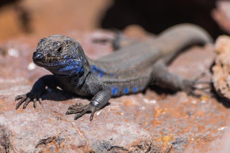 Palmae masculino endémico del galloti de Gallotia del retrato del lagarto de Palma del La fotografía de archivo