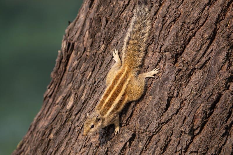 Palmarum indiano de Funambulus do esquilo da palma que senta-se em uma árvore imagem de stock