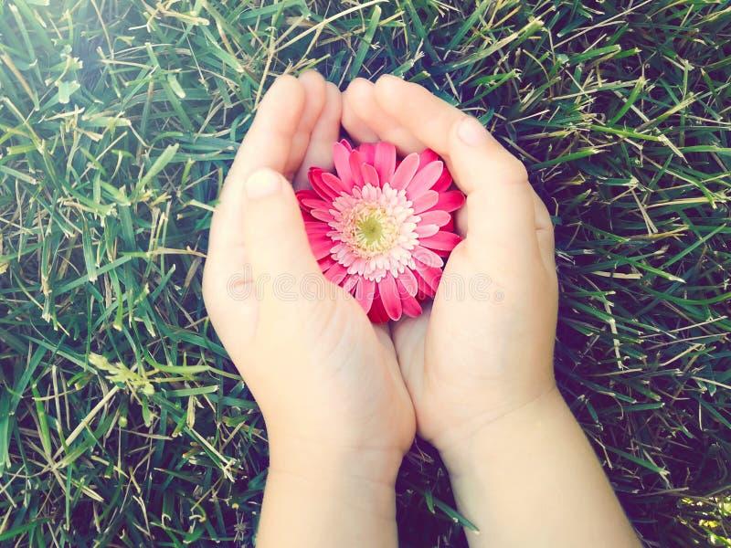 Palmas das mãos da criança que guardam a flor bonita cor-de-rosa vermelha da margarida do gerbera foto de stock