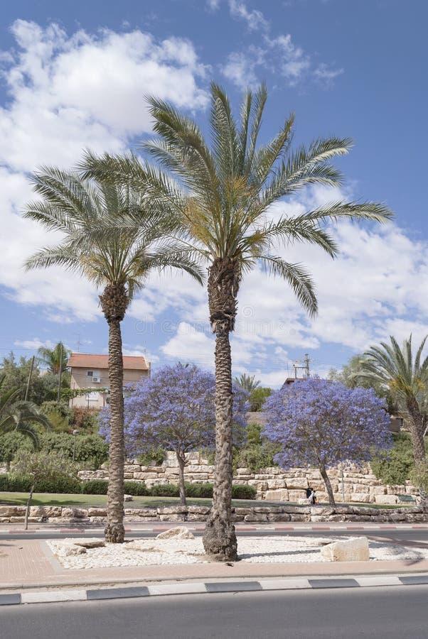 Palmas datileras y árboles florecientes del Jacaranda fotografía de archivo