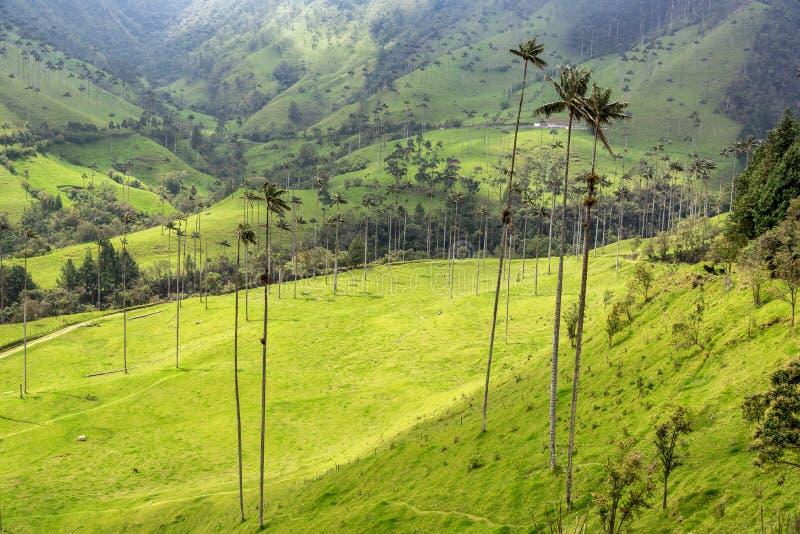 Palmas de cera do vale de Cocora foto de stock