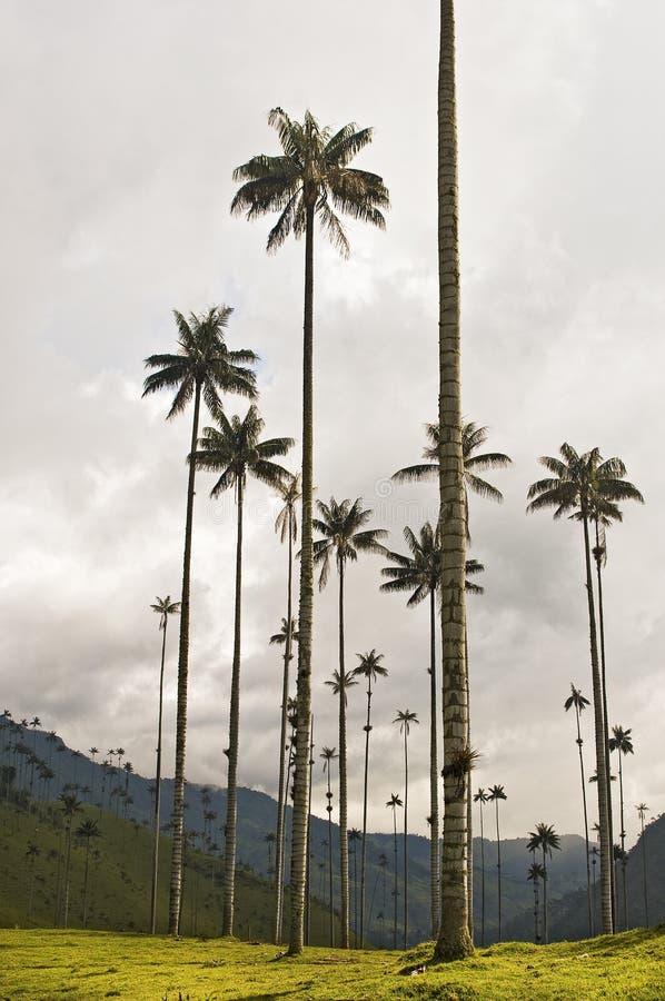 Palmas de cera gigantes fotografia de stock royalty free