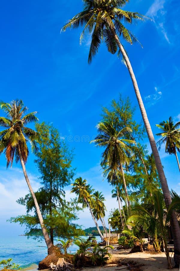 Palmas de coco en costa tropical foto de archivo
