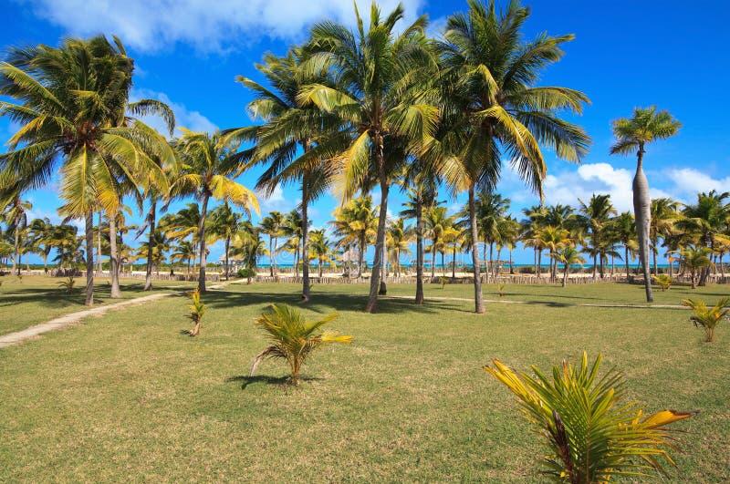 Palmas de coco en la costa atlántica imagen de archivo libre de regalías
