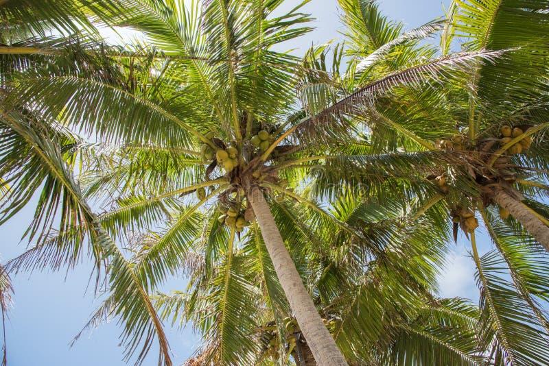 Palmas de coco: Islas del misterio fotos de archivo