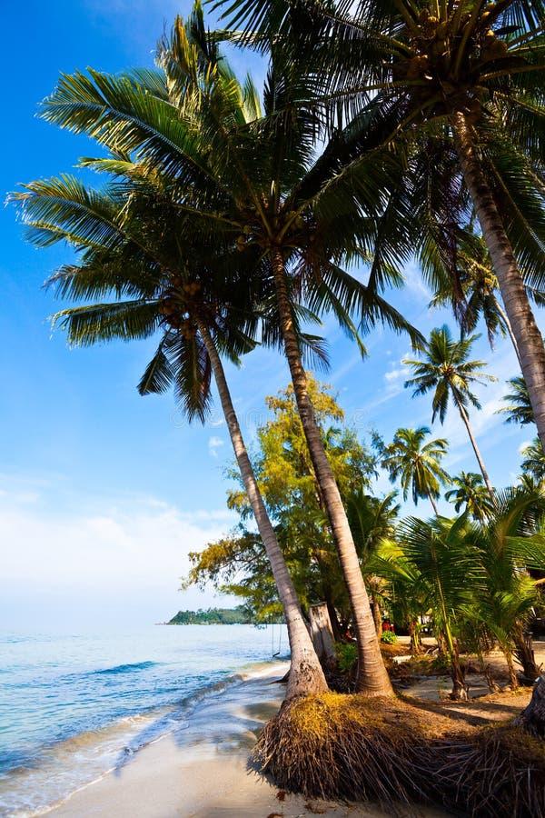 Palmas de coco no banco tropico fotografia de stock