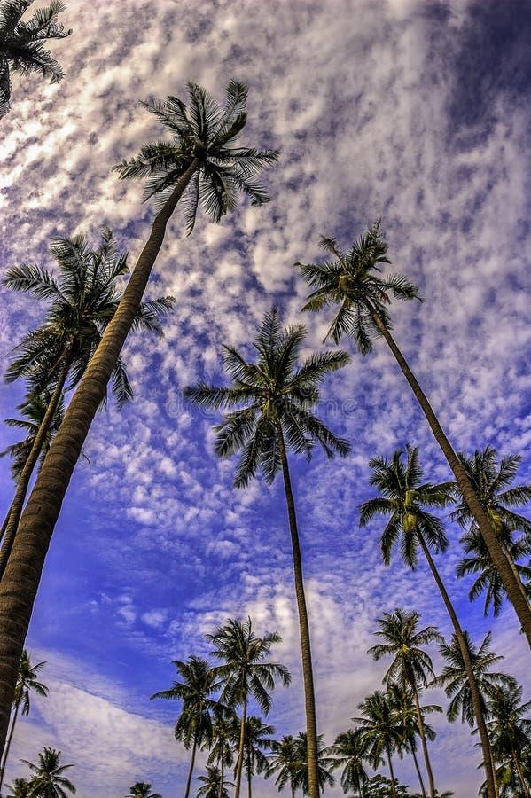 Palmas de coco que alcançam para os céus fotografia de stock royalty free