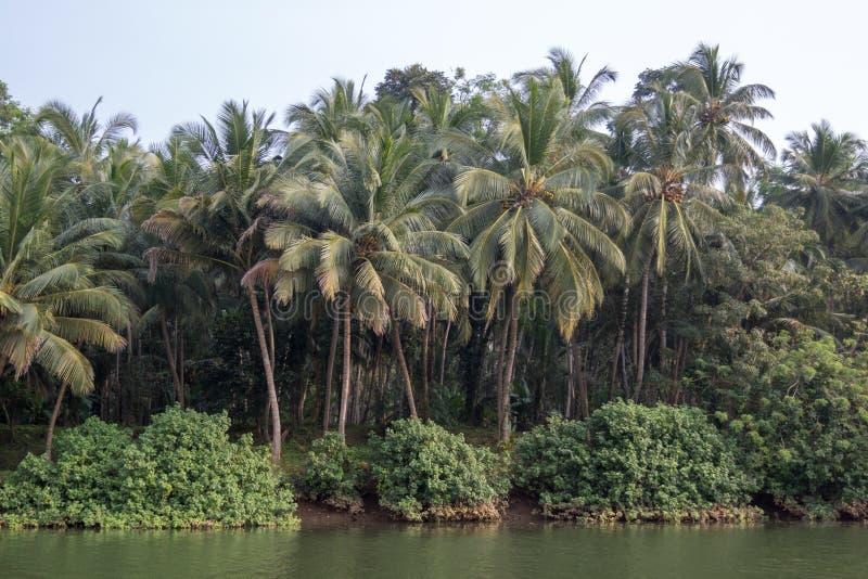 Palmas de coco que crescem por um beira-rio em Kerala, Índia do sul foto de stock royalty free