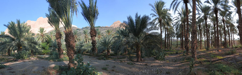 Palmas de data em En Gedi, Israel fotografia de stock